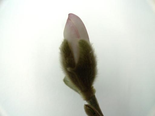 muguras magnolie