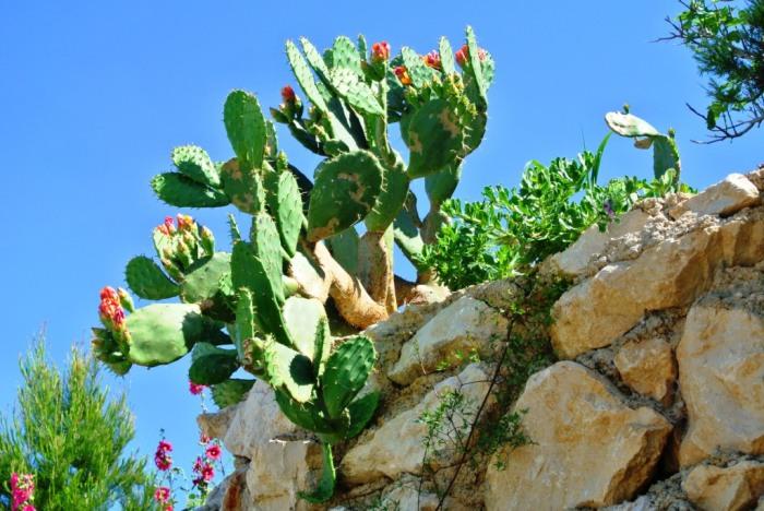 Cactusi Pag