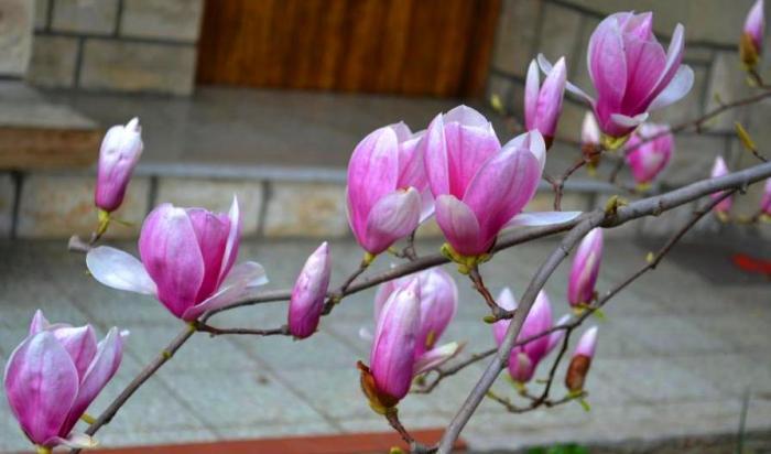 magnolii izola 2