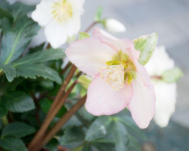 flori Olanda 2